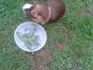 can guinea pigs eat tarragon