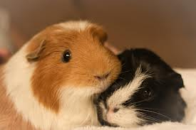guinea pigs and cold weather