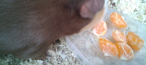 can guinea pigs eat clementines