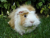 can guinea pigs eat just pellets