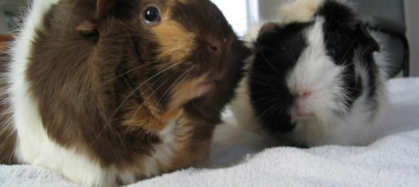 Should guinea pigs be bought in pairs?