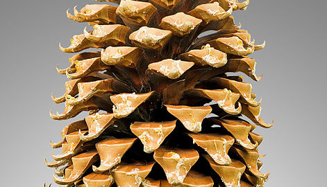 can guinea pigs eat pine cones